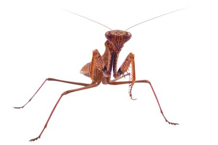 predatory insect: Mantis isolated on a white background