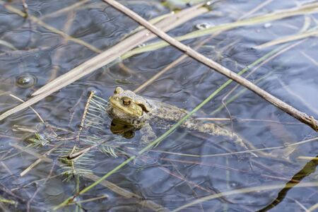 bufo toad: Toad (Bufo bufo) floating on the watertop Stock Photo