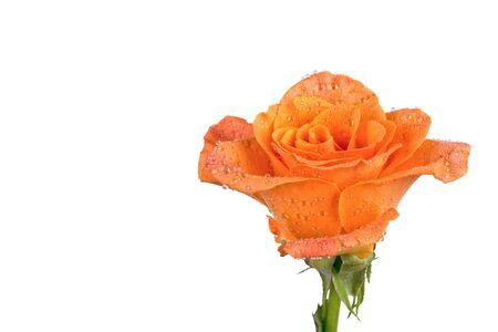 orang: Orange rose isolated over white background Stock Photo