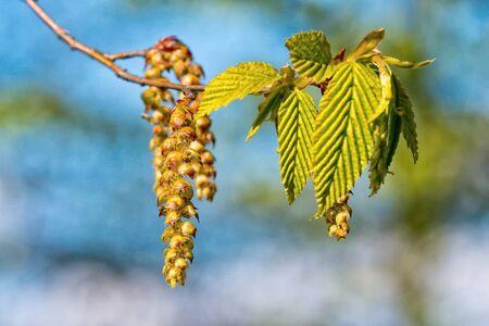 hazel branches: Catkins of hazel, highly allergenic pollen