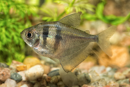 tetra fish: Nice aquarium fish from genus Hyphessobrycon Stock Photo