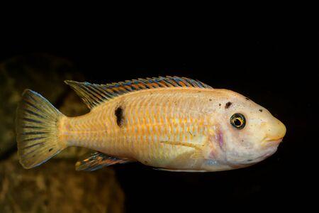 cichlid: Portrait of colored aquarium fish in the aquarium