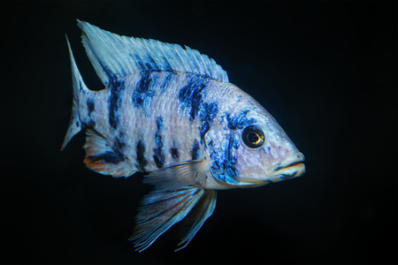 aulonocara: Nice blue OB male of cichlid fish from genus Aulonocara Stock Photo