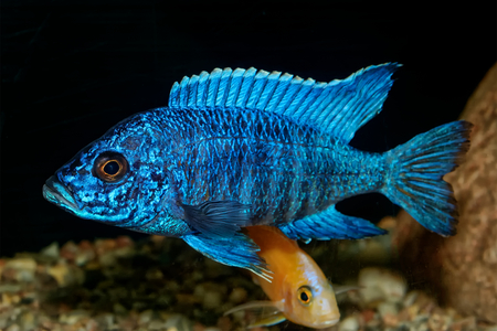 Nice blue OB male of cichlid fish from genus Aulonocara Stock Photo