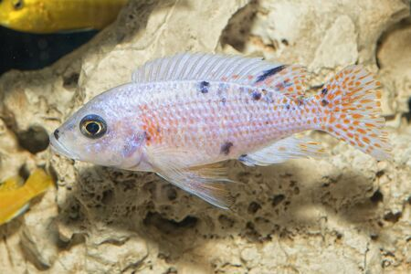 aulonocara: Nice blue OB female of cichlid fish from genus Aulonocara