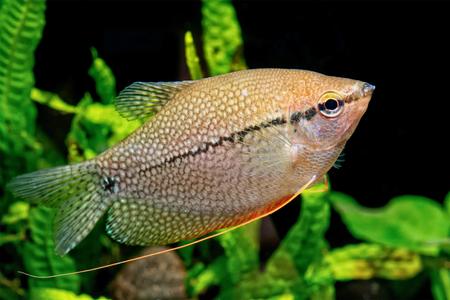 freshwater pearl: Pearl gourami in a aquarium (Trichopodus leeri)