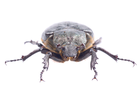insecta: Black bug with yellow dots isolated on a white background
