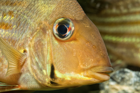 cichlid: Detail of head of cichlid fish from geus Geophagus