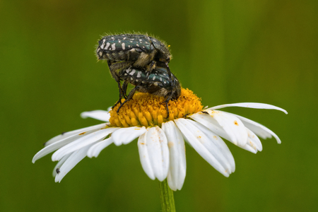beetles: Two beetles sitting on a daisy flower