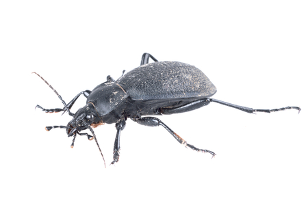 long horn beetle: Black beetle isolated on a white background