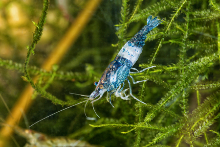 freshwater: Blue freshwater shrimp closeup shot in aquarium (genus Neocaridina) Stock Photo
