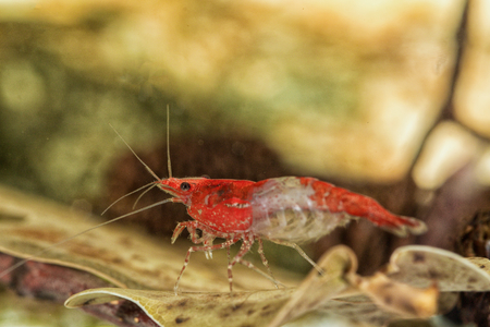 Red freshwater shrimp closeup shot in aquarium (genus Neocaridina) 版權商用圖片