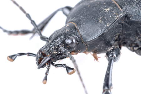 long horn beetle: Detail of head of black beetle isolated on a white background
