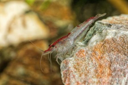 Red freshwater shrimp closeup shot in aquarium (genus Neocaridina) Stock Photo