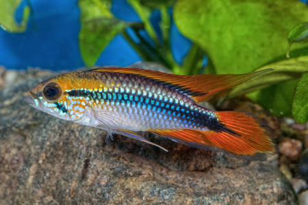 apistogramma: Cichlid fish Apistogramma agassizii in a planted aquarium Stock Photo