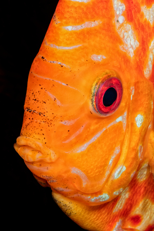 discus fish: Beautiful portrait of orande head of discus fish Stock Photo