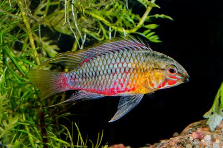 apistogramma: Cichlid fish Apistogramma hongsloi in a planted aquarium