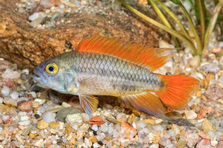 Cichlid fish Apistogramma cacatuoides in a aquarium
