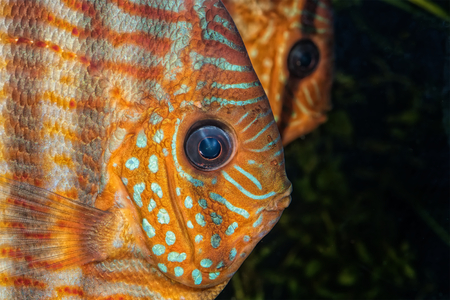 discus: Beautiful portrait of natural discus fish Stock Photo