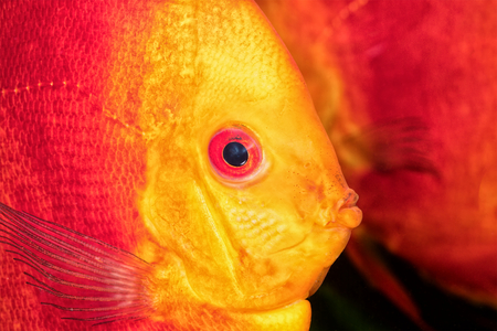 discus: Beautiful portrait of red-orange discus fish Stock Photo