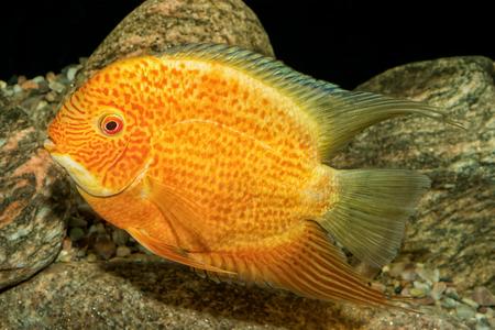 cichlid: Portrait of freshwater cichlid fish (Heros severus) in aquarium