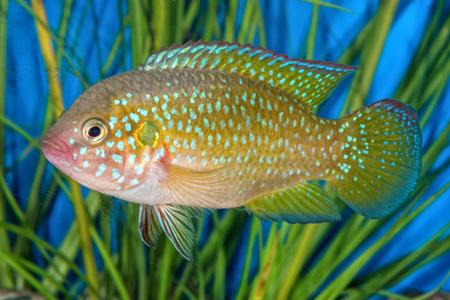 Portrait of freshwater cichlid fish (Hemichromis sp.) in aquarium Stock Photo