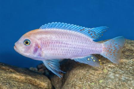 cichlid: Portrait of freshwater cichlid fish (Maylandia zebra) in aquarium