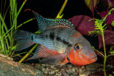thorichthys: Portrait of cichlid fish from genus Thorichthys in aquarium Stock Photo