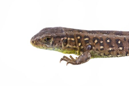 viviparous: Lizard (Lacerta agilis) with tick (Ixodes ricinus) isolated on a white background Stock Photo