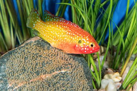 cichlid: Portrait of freshwater cichlid fish (Hemichromis sp.) in aquarium Stock Photo