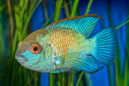 cichlid: Portrait of cichlid fish (Andinoacara sp.) in aquarium