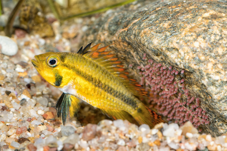 freshwater aquarium plants: Portrait of cichlid fish (Apistogramma cacatuoides) in a aquarium Stock Photo