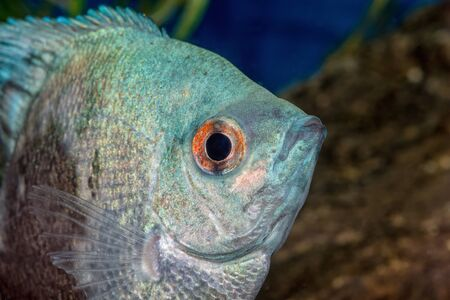 scalare: Portrait of cichlid fish (Pterophyllum scalare) in a aquarium
