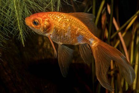 carassius auratus: Portrait of freshwater barb fish (Carasius auratus) in aquarium Stock Photo
