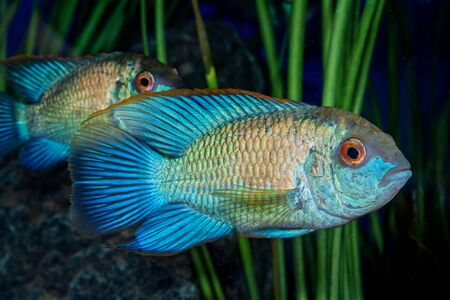 Portrait of freshwater cichlid fish (Andinoacara sp.) in aquarium Stock Photo