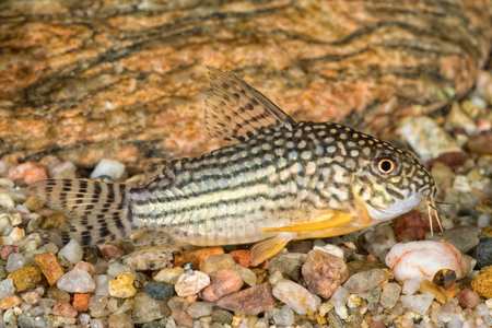fish tank: Portrait of freshwater catfish (Corydoras sterbai) in aquarium