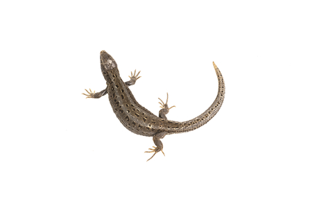 newt: Lizard (Lacerta agilis) isolated on a white background