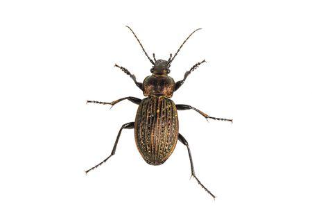 Beetle (Carabus ullrichii) isolated on a white background Stock Photo