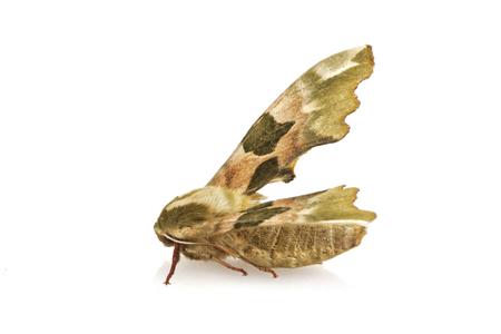 tiliae: Lime hawk-moth (Mimas tiliae) isolated on a white background Stock Photo