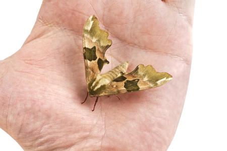 tiliae: Lime hawk-moth (Mimas tiliae) on a people hand Stock Photo
