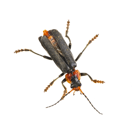 Soldier beetle isolated on a white background