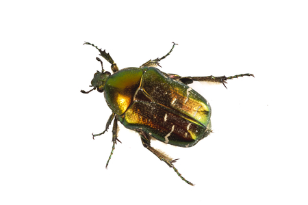 Rose chafer (Cetonia aurata) isolated on a white background