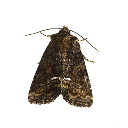 Brown moth isolated on a white background