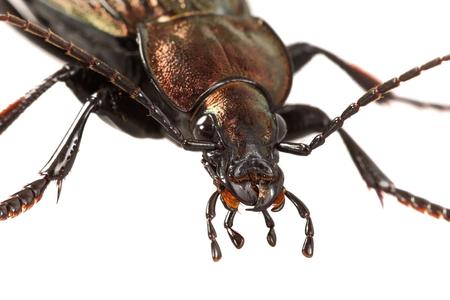 Detail of head of ground beetle (Carabus ullrichii) Stock Photo