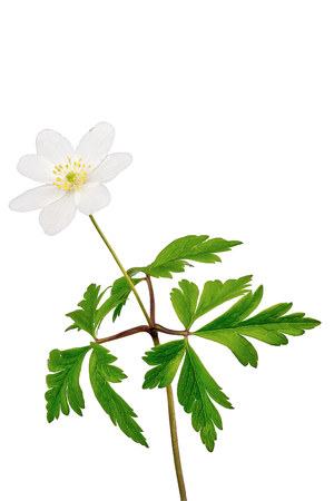 windflower (Anemone nemorosa) isolated on a white background