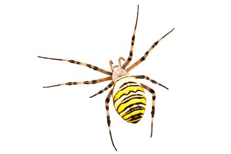 Wasp spider (Argiope bruennichi) isolated on a white background Stock Photo