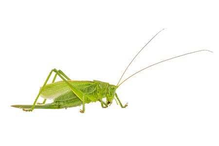 langosta: Green grasshopper isolated on a white background