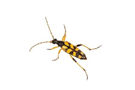 Beetle (Leptura maculata) isolated on a white background Stock Photo