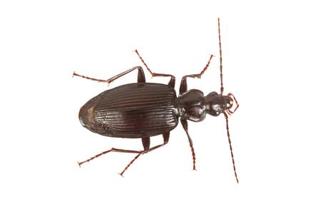 Ground beetle (Limodromus assimilis) isolated on a white background