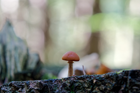 One wild mushroom growing in a forest